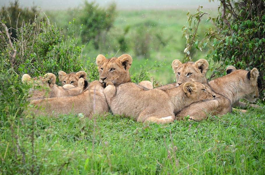 What is lion pride and what is a male lion called in pride?