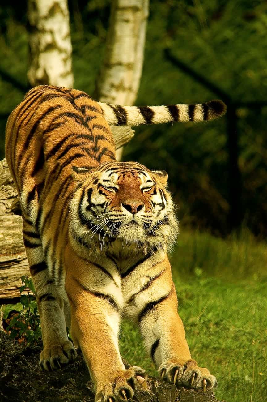 What is size, length and weight of Bengal Tiger?