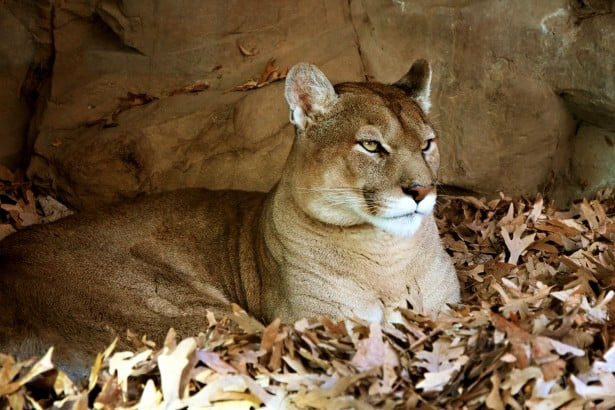 What is the color of Cougar?
