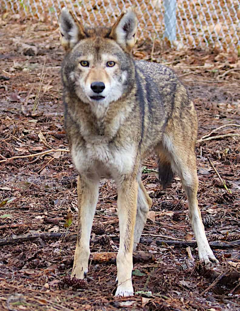 What is the color of Gray Wolf?