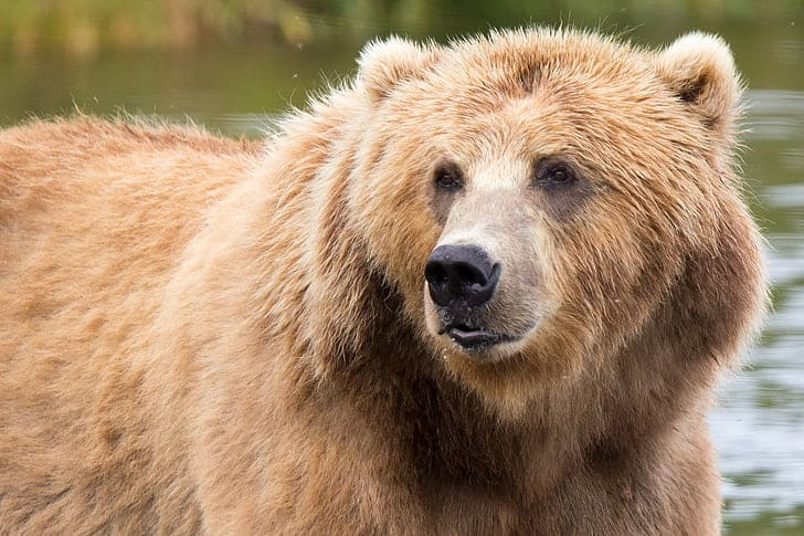 What is the color of the Grizzly bear?