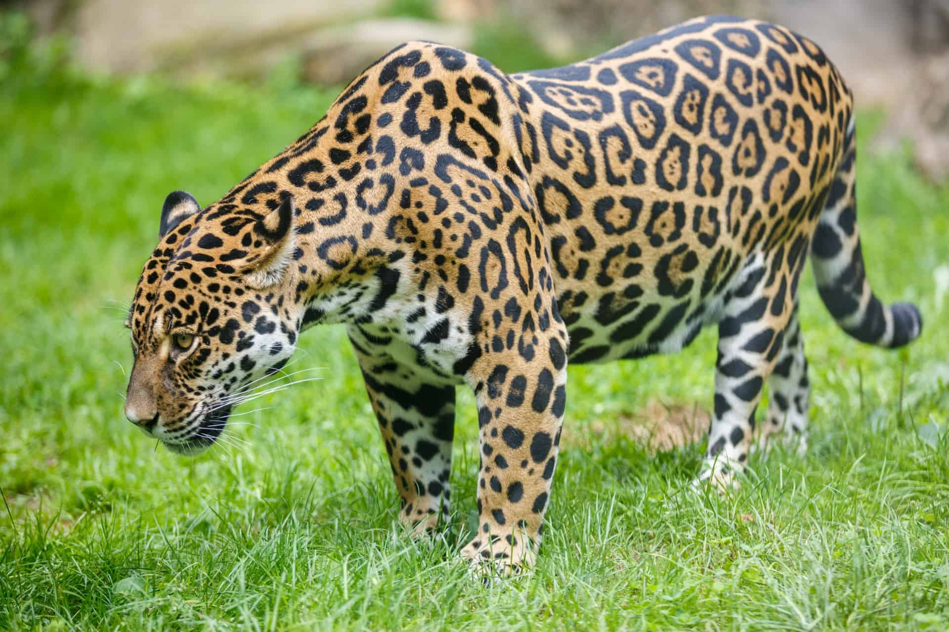 What is the size, length and shoulder height of a Jaguar?
