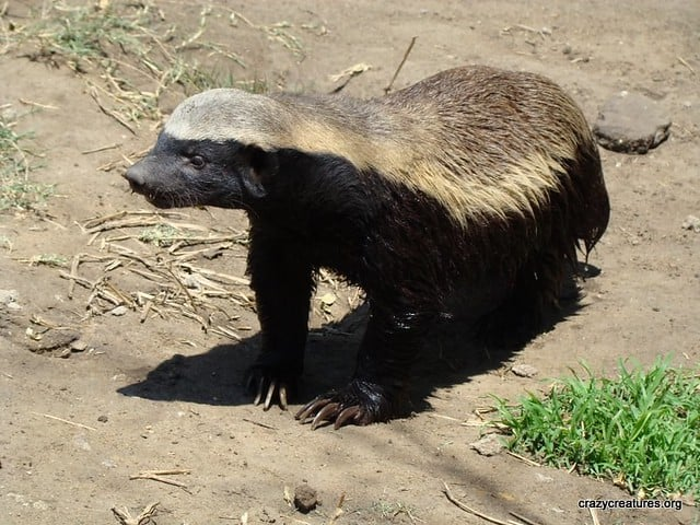 What is the size, length, height and weight of Honey Badger?