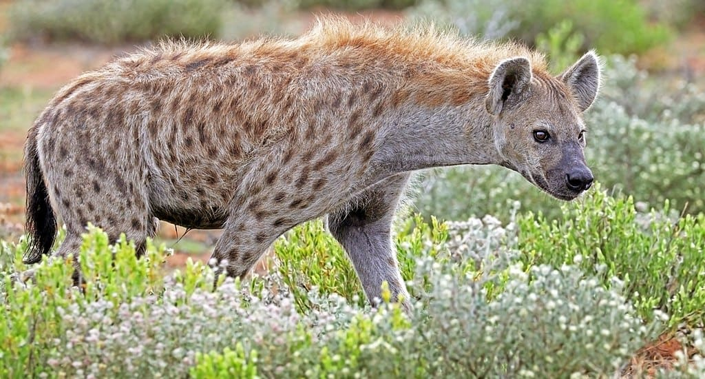 What is the size, shoulder height and weight of a Hyena?