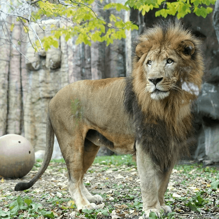 What is the weight, height and size of African lion?