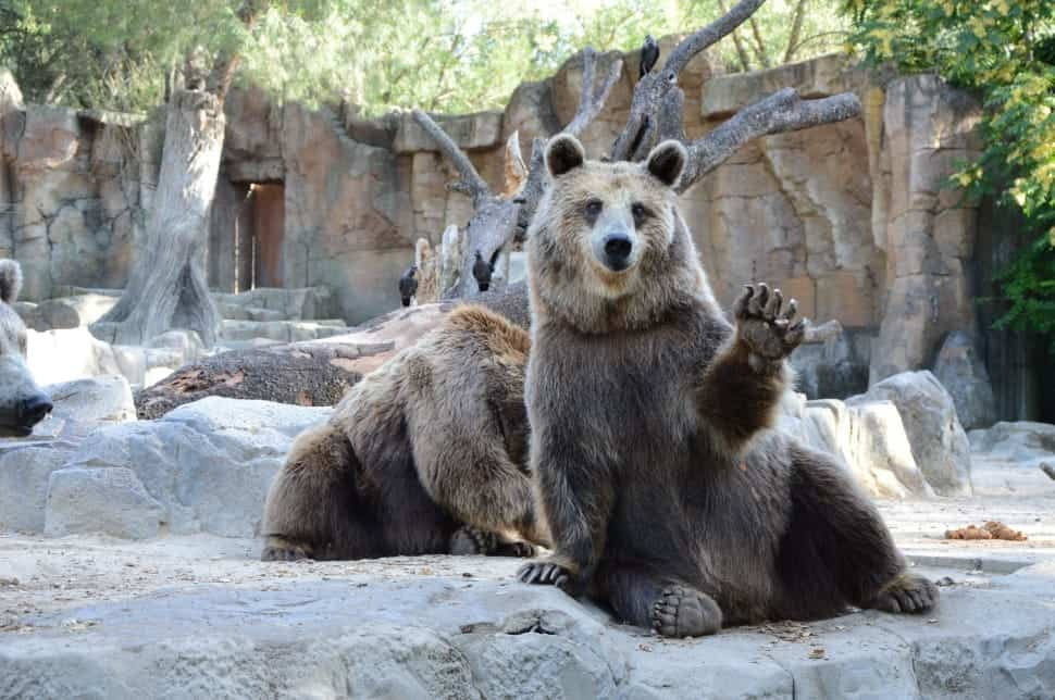What is the weight, height, paws size of Grizzly bear?