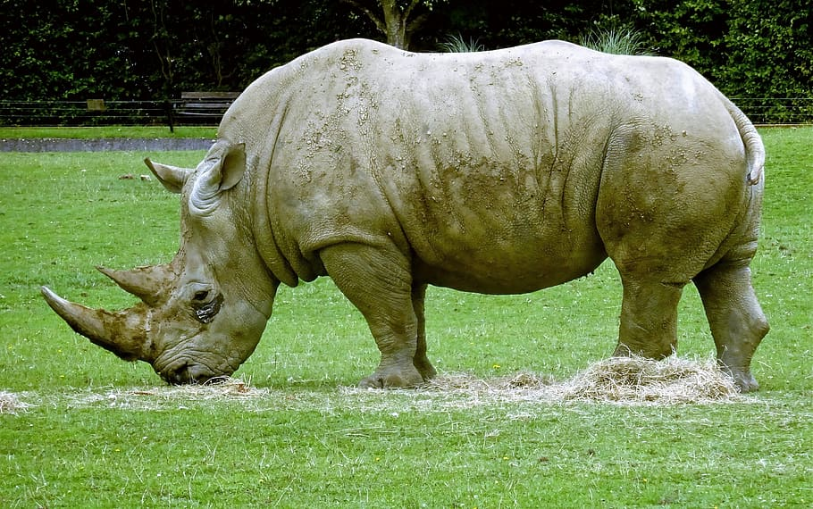 What is the weight, height, size of Rhino?