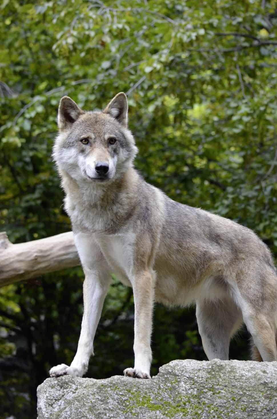 What is the weight, length, height and size of Gray Wolf?