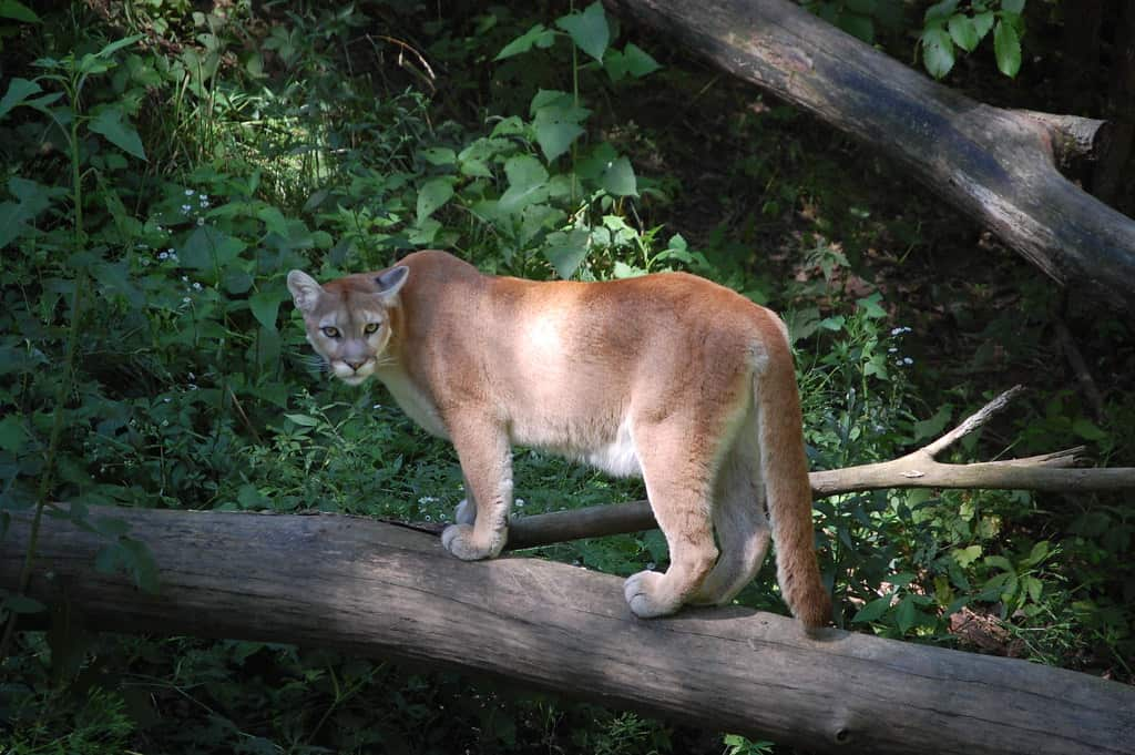 What is the weight of a Cougar?