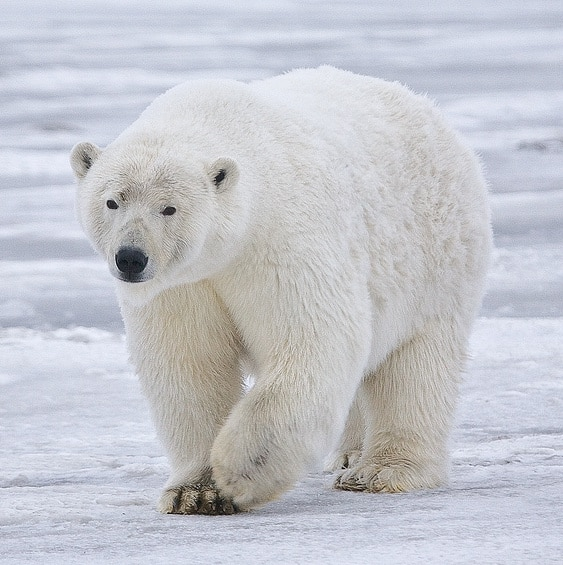 What is the weight of a Polar bear?