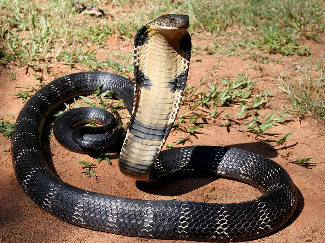 Where are King Cobras found?