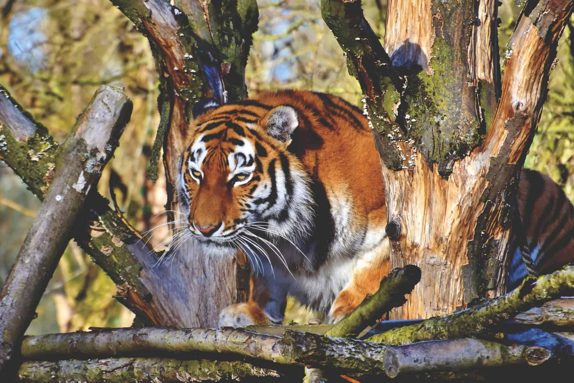 Where does Bengal Tiger live?