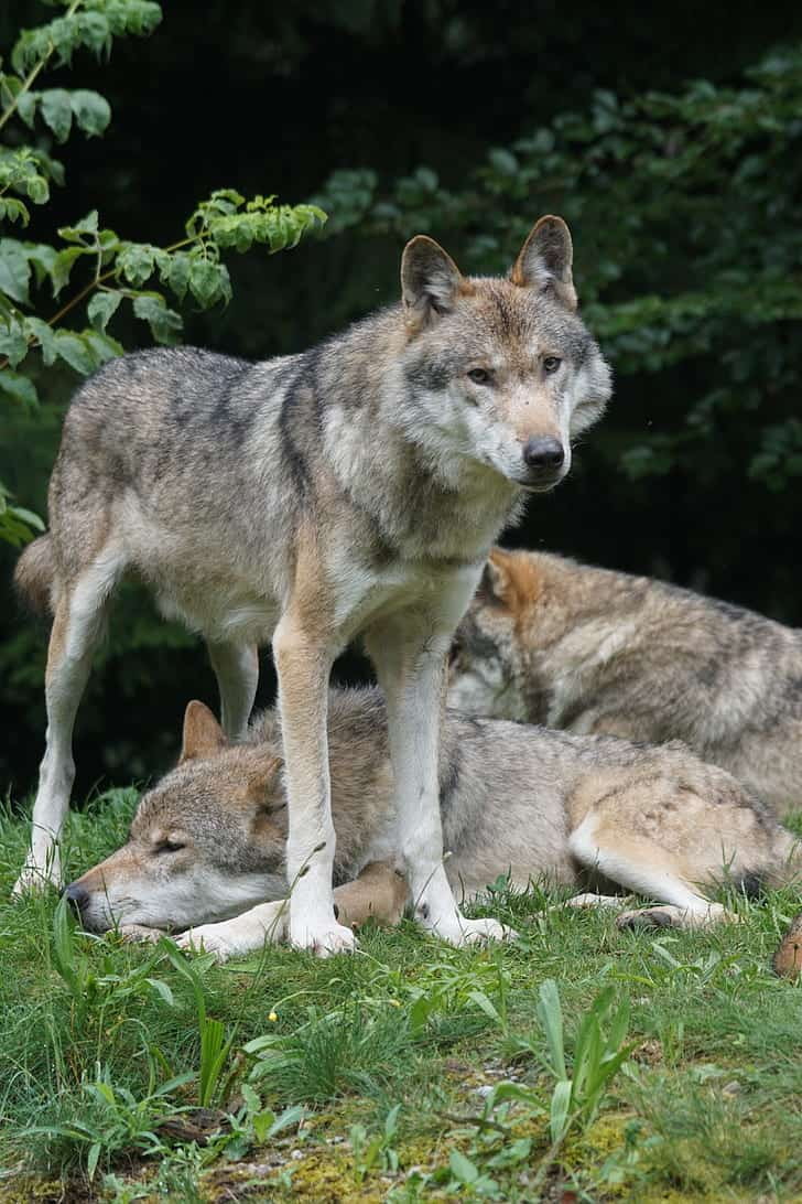 Where does Gray wolf live?