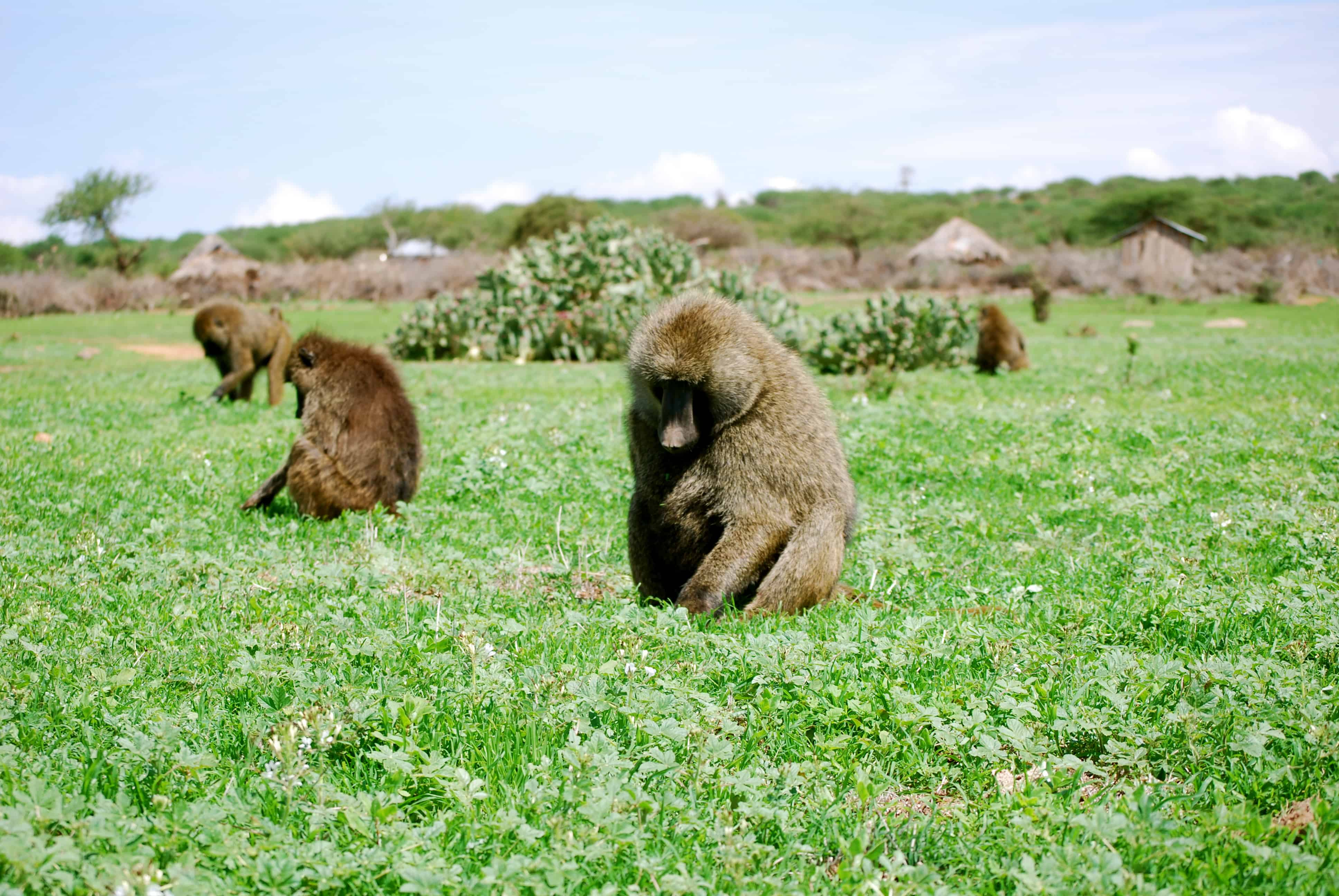 Where is Baboon found?