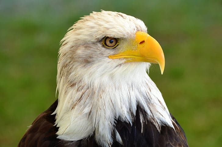 Where-is-Bald-Eagle-found