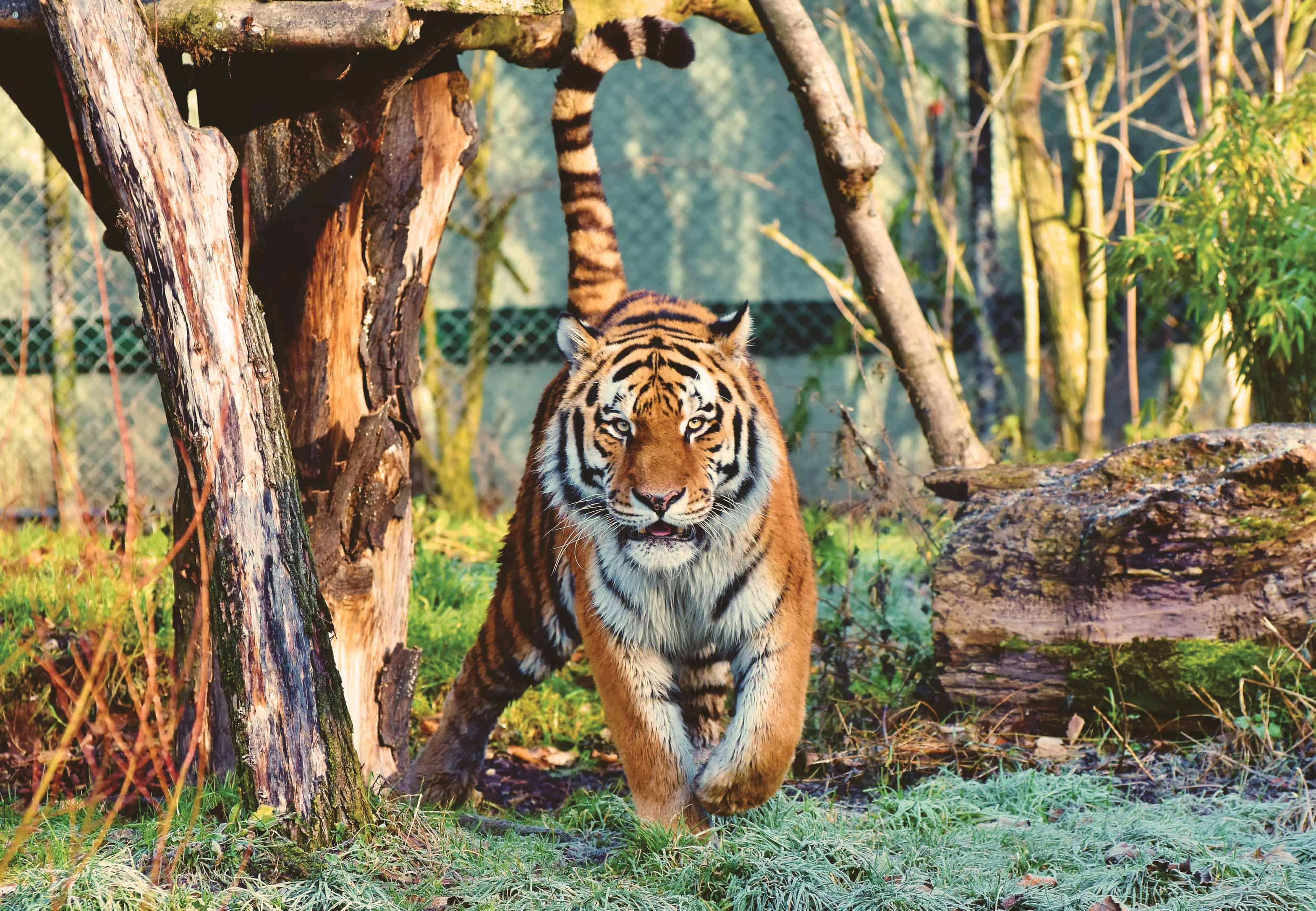 Where is Bengal Tiger found?