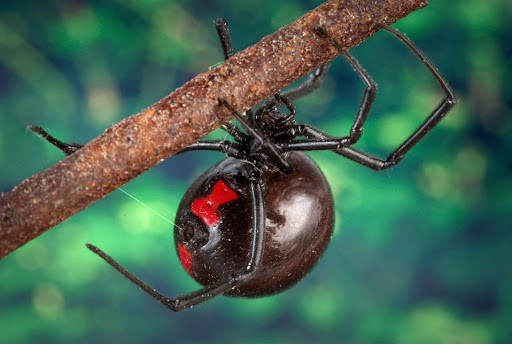 Where is Black Widow Spider found?