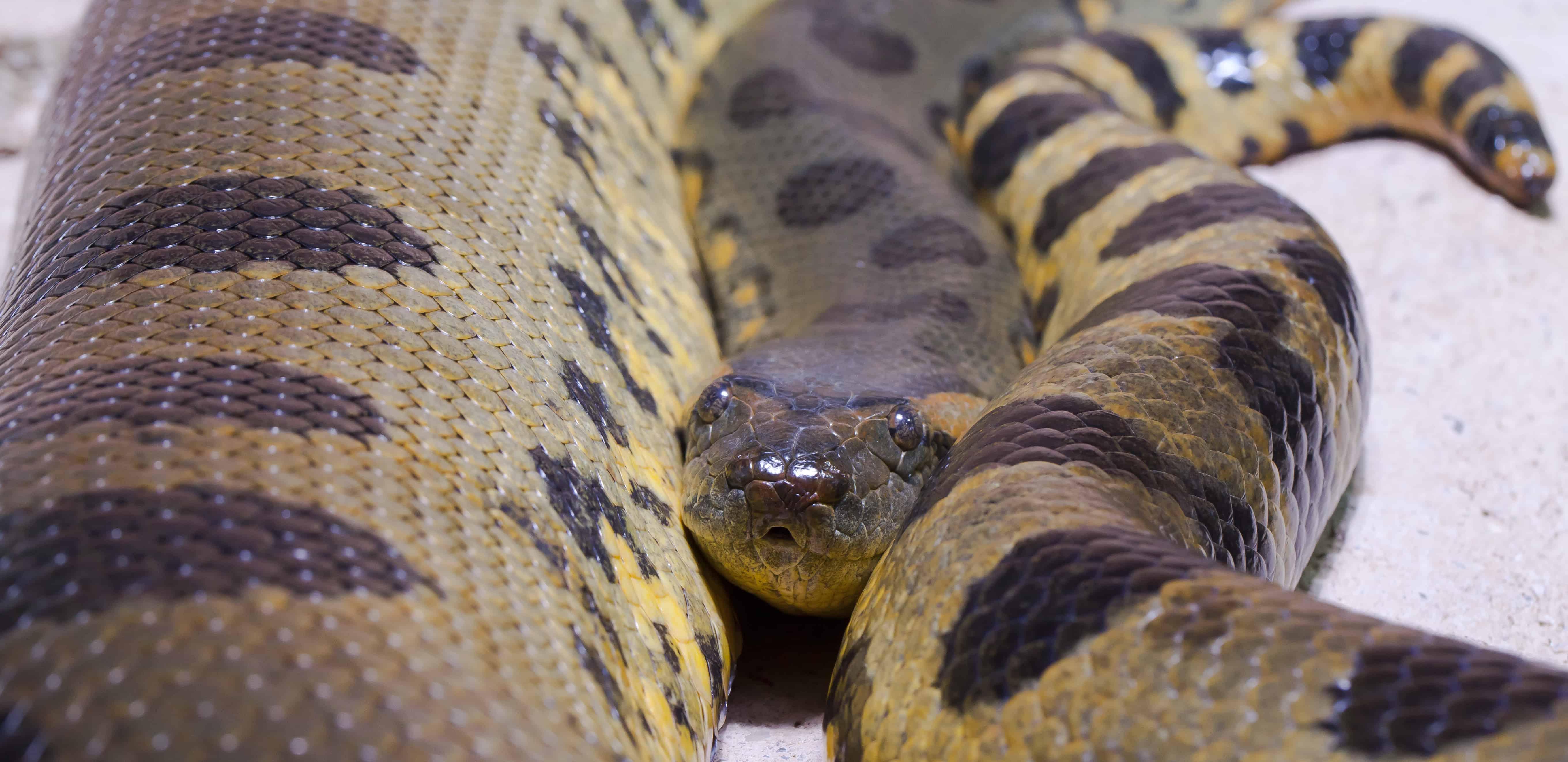 Where is Green Anaconda found?