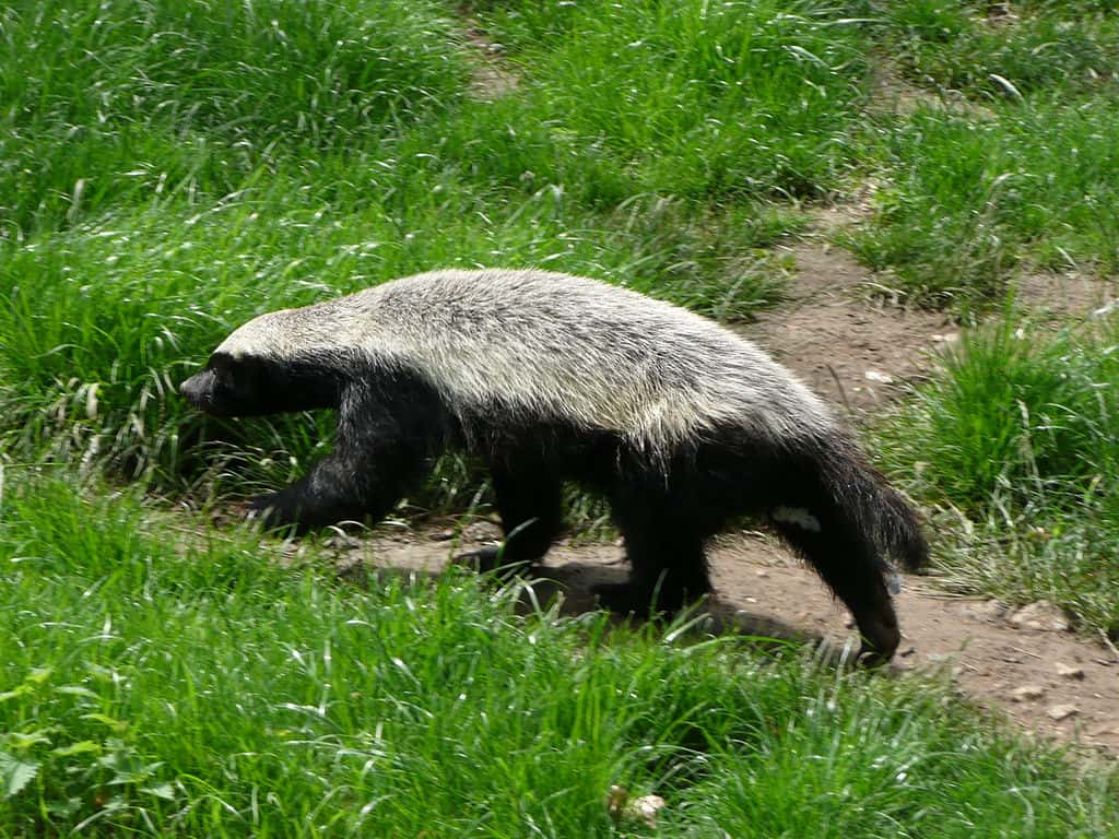 Where is Honey Badger found?