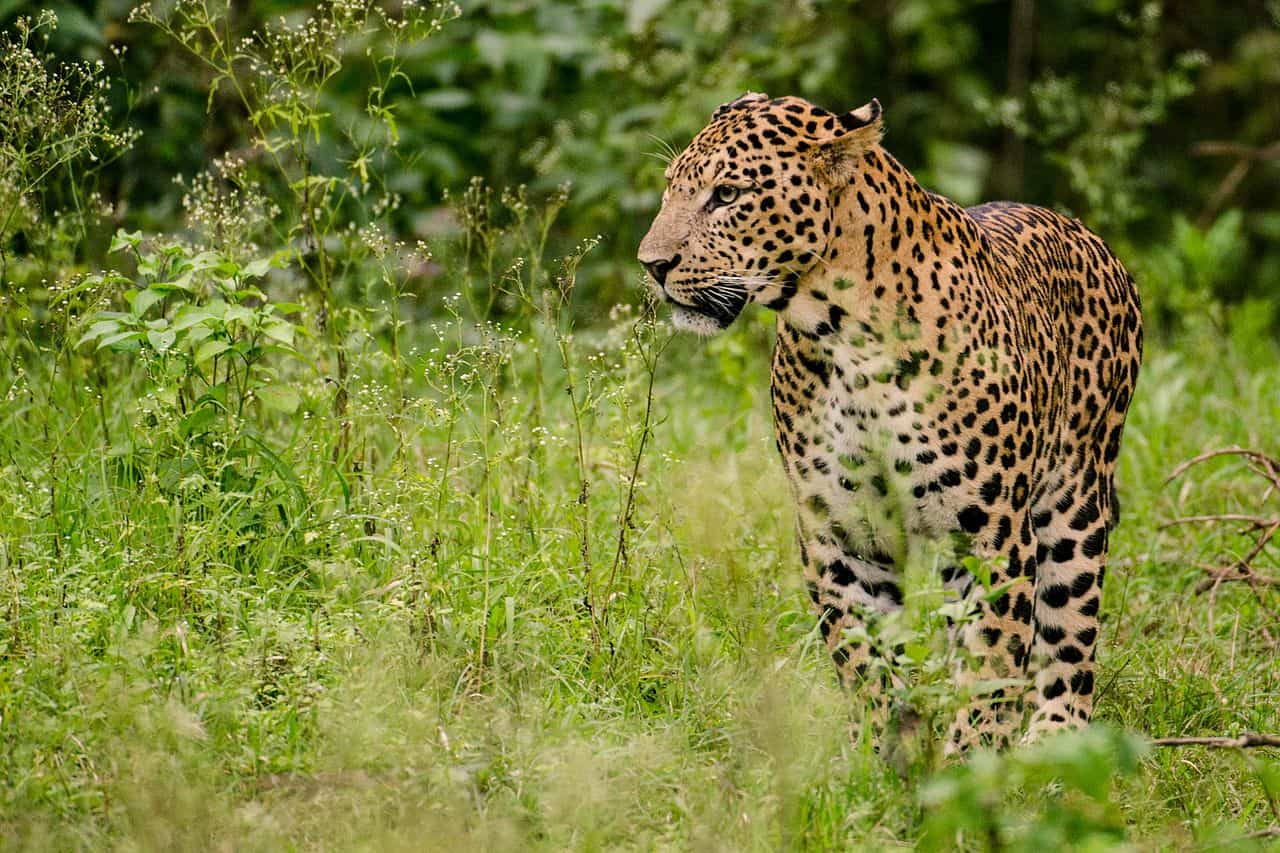 Where is Leopard found?