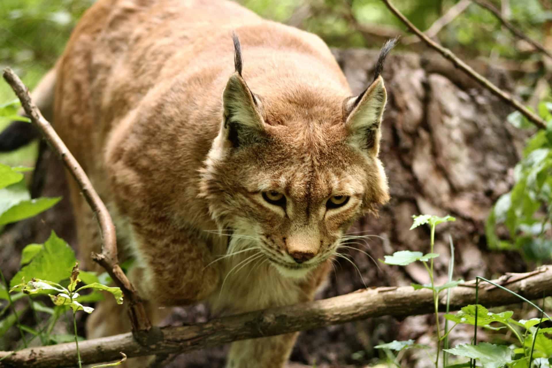 Where is Lynx found?