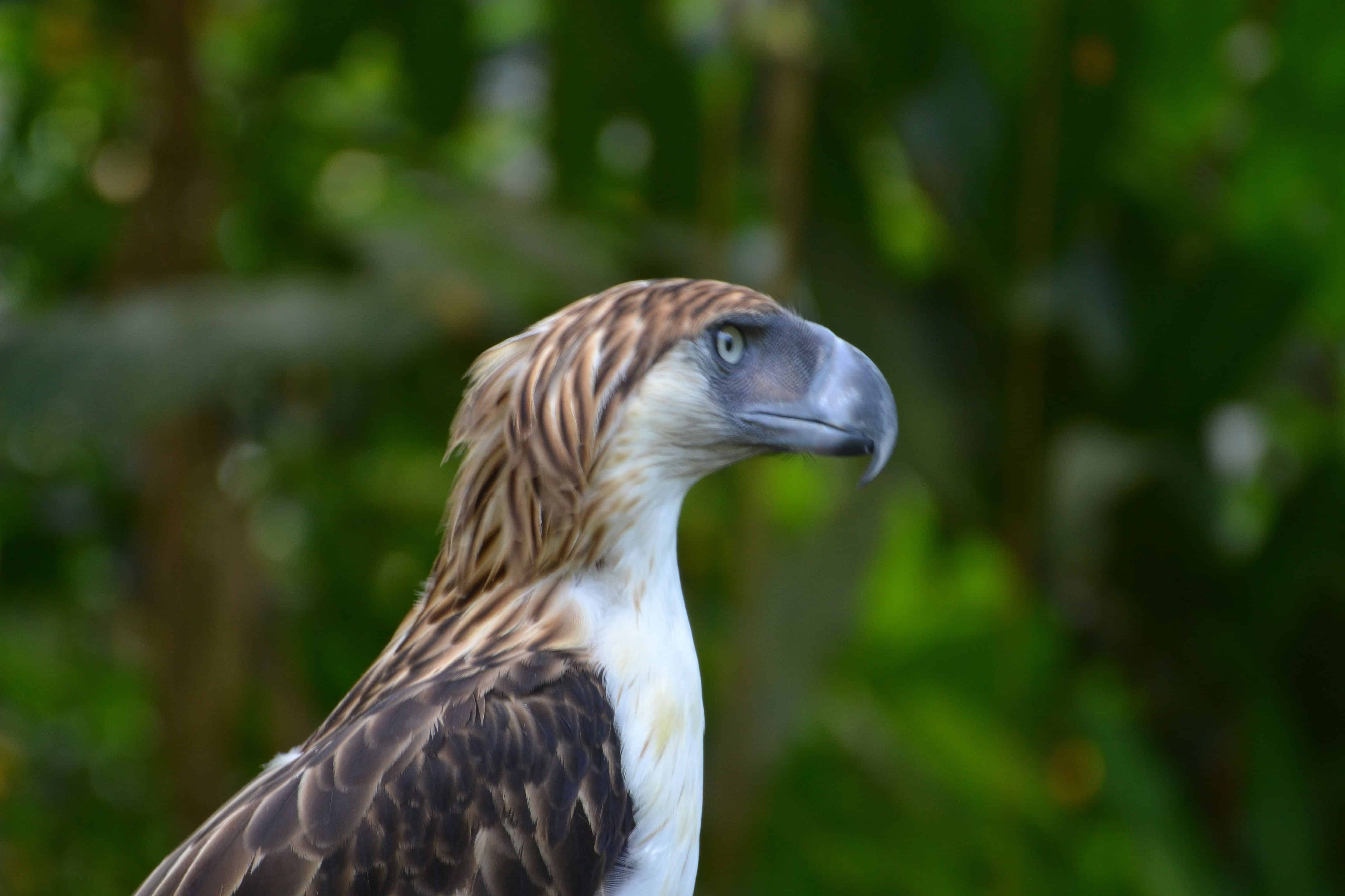 Where is Philippine Eagle found?