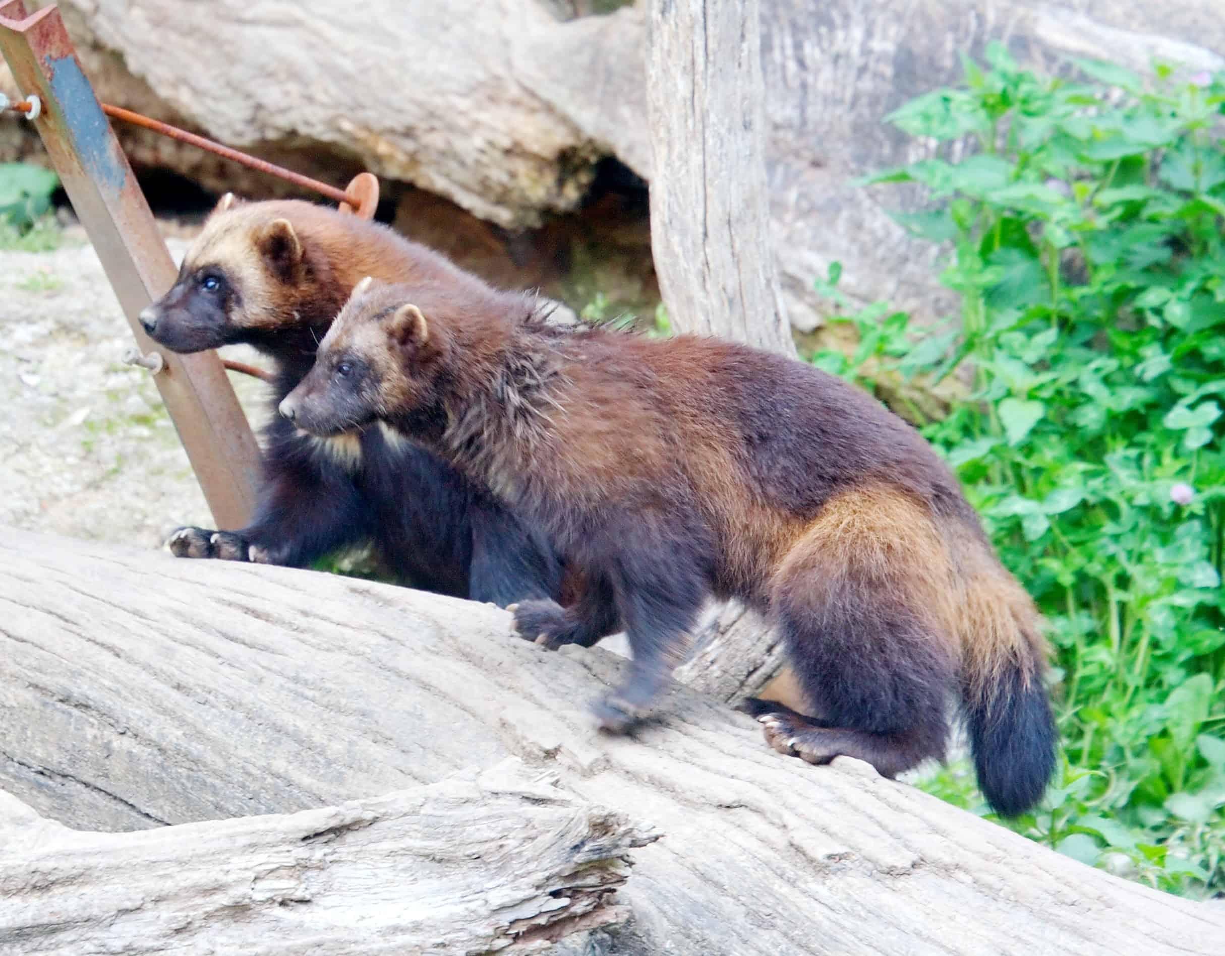 Where is Wolverine found?