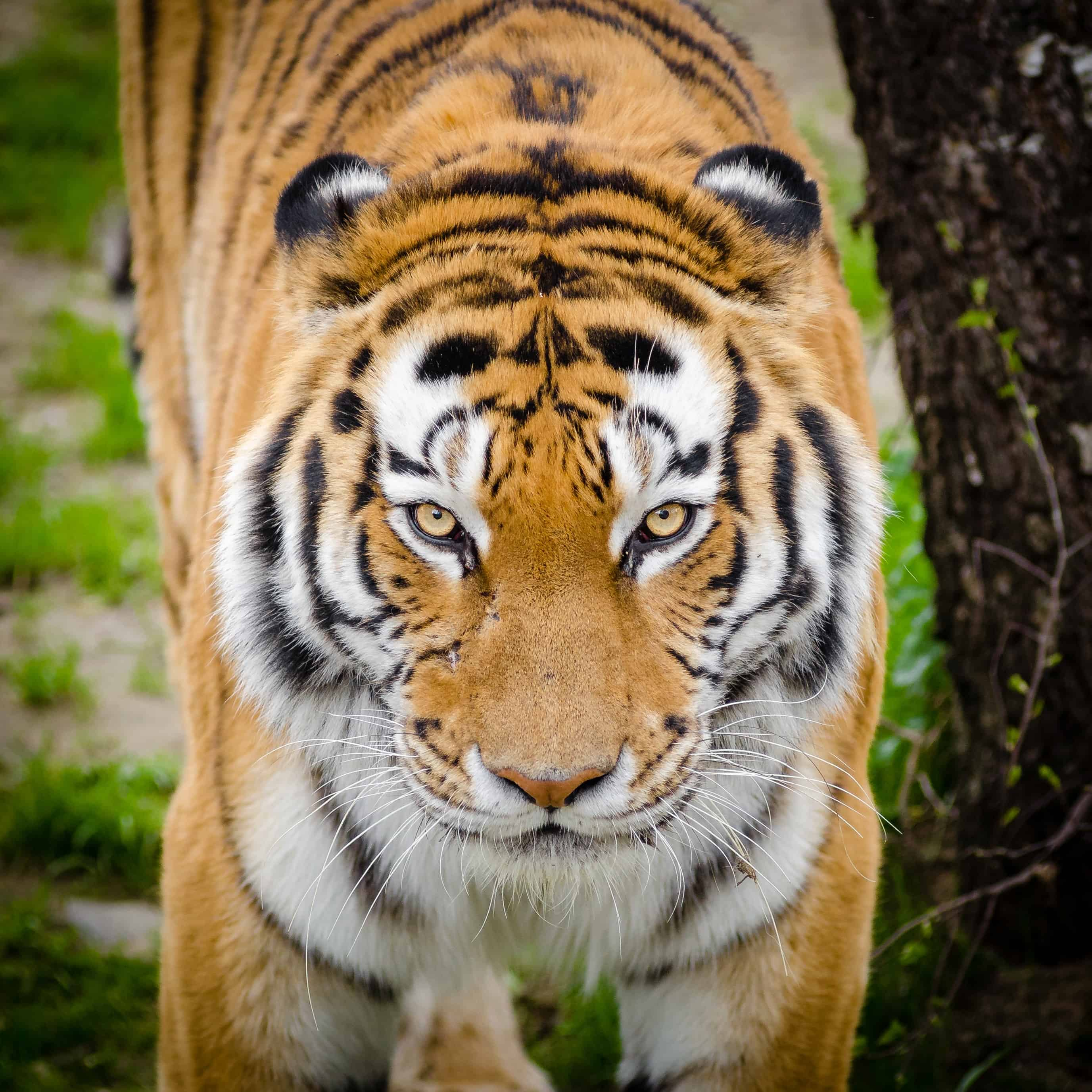 Which Tiger is known as Amur Tiger?