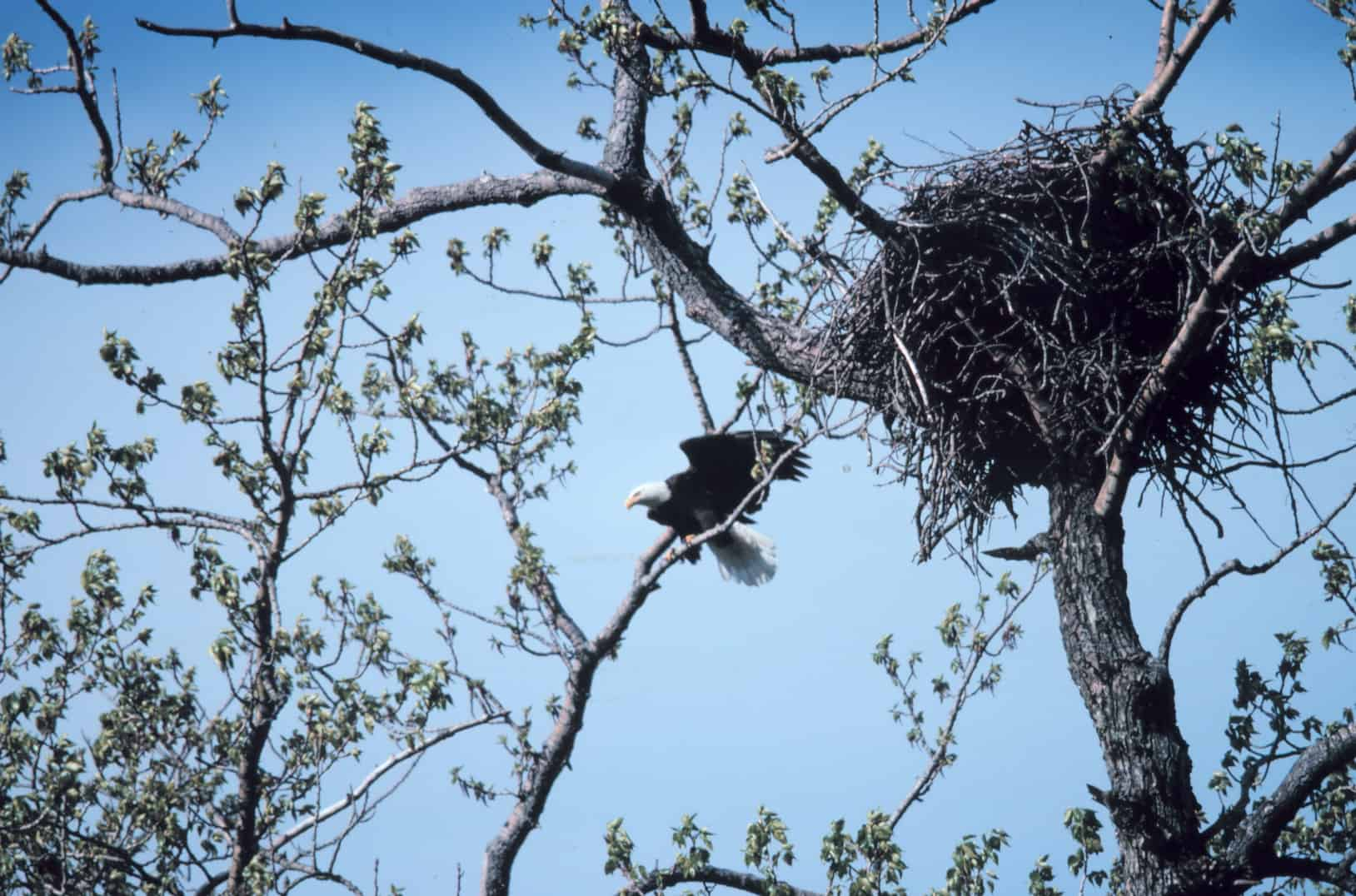 Which birds hold the record of the biggest nest?