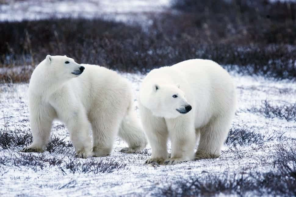 Which countries and states have Polar bears?