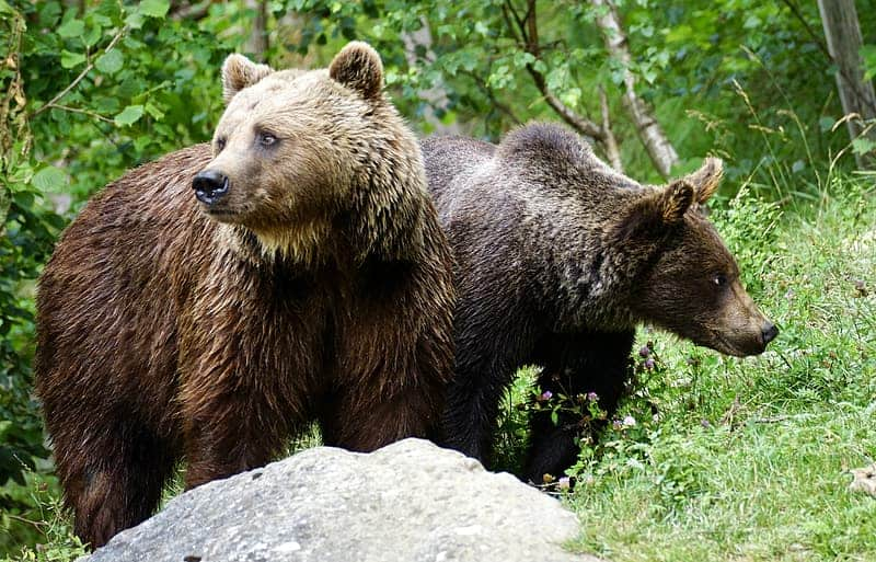 Which states and countries have Grizzly bears?