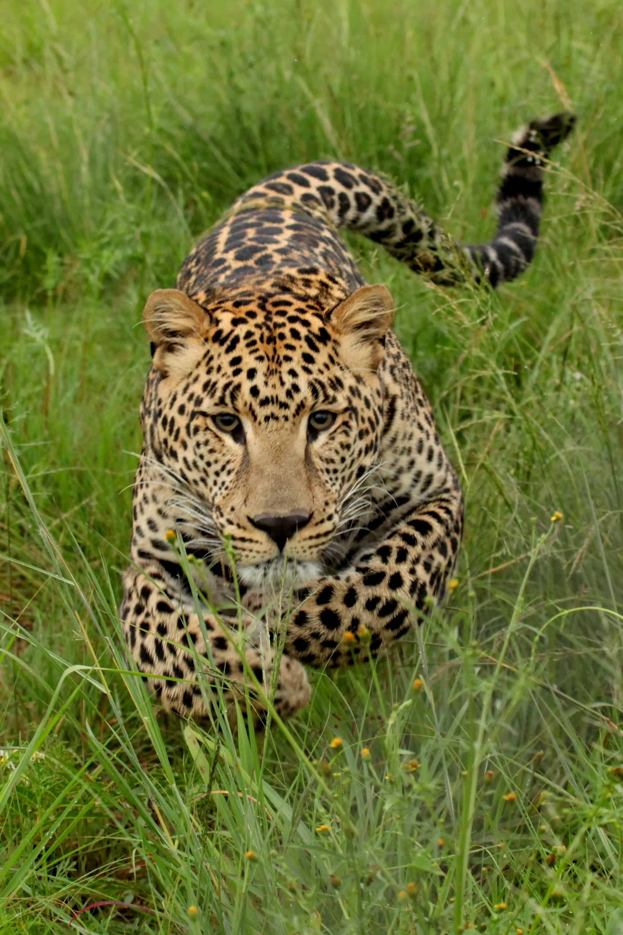 Who are the predators of Leopard?