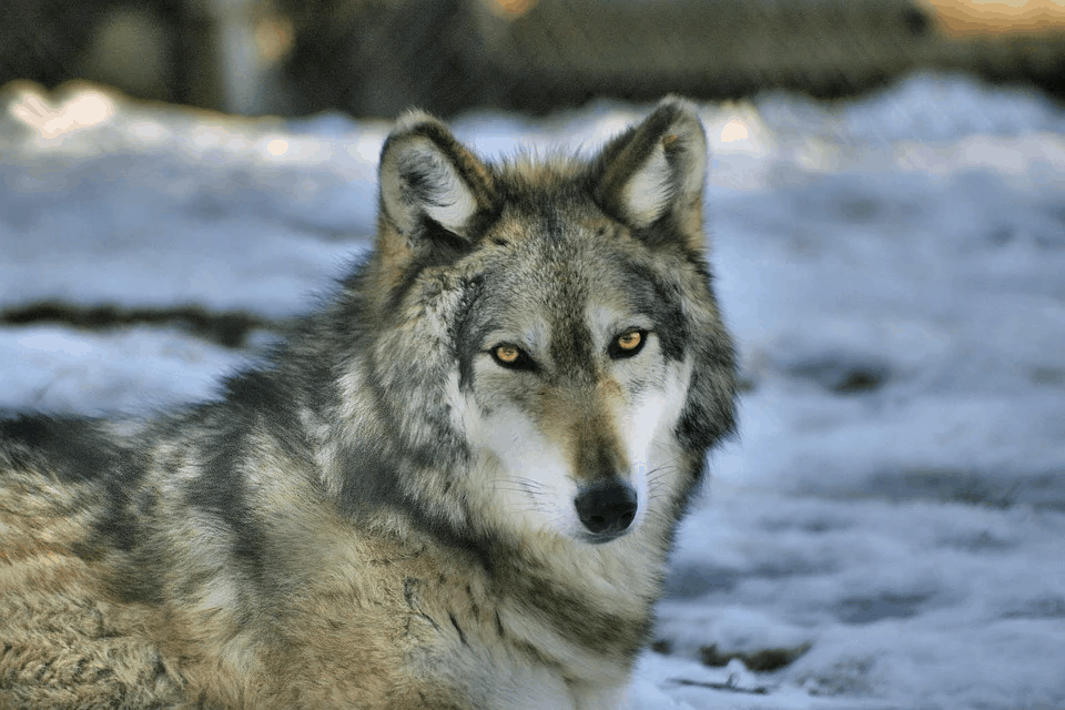 Why Gray wolf is a social animal?
