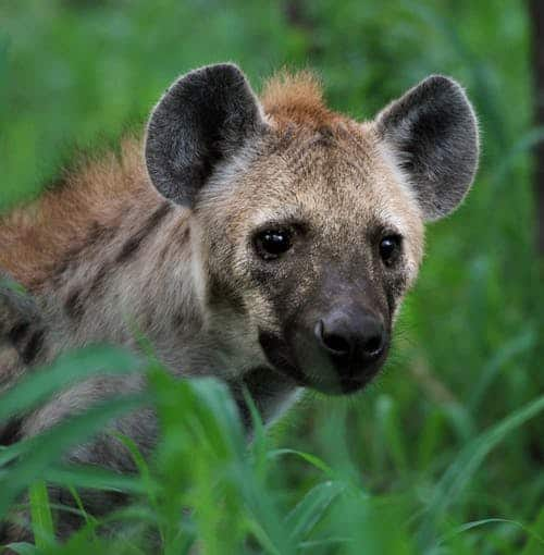 Why does Hyena laugh?