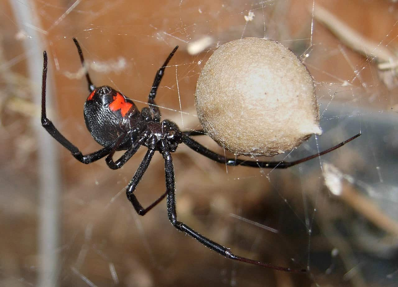 Why is the Black Widow Spider called so?