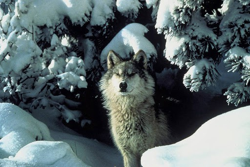 Which Wolf is known as Timber wolf?