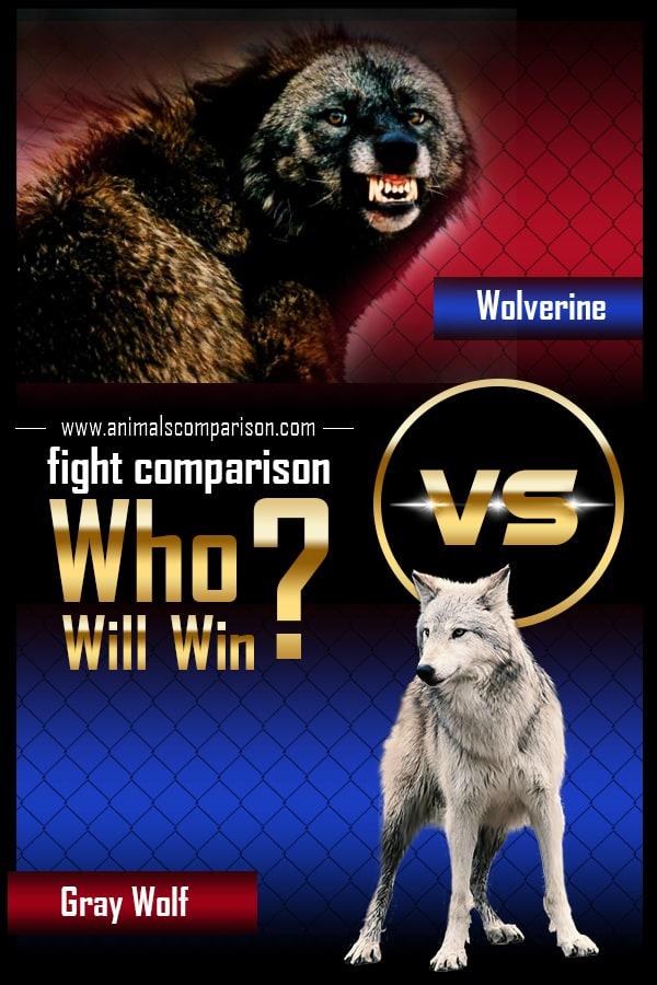Wolverine vs Gray Wolf