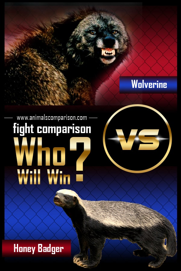 Wolverine vs Honey Badger