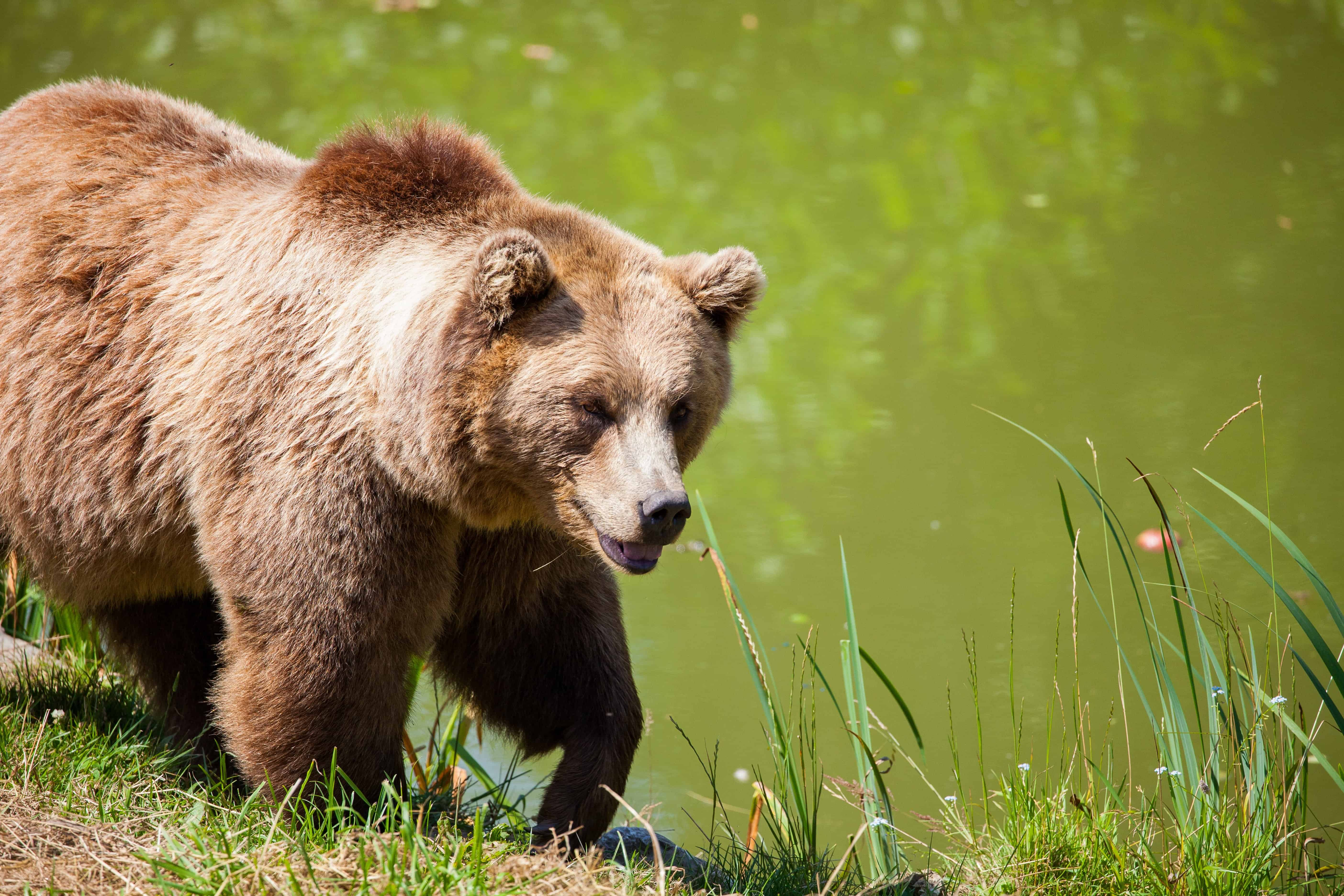 grizzly bear weight