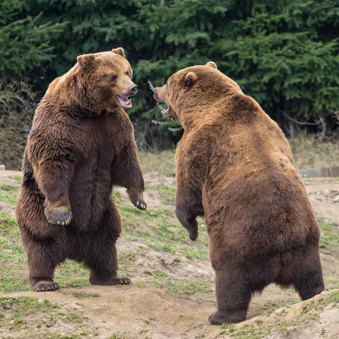 kodiak bear fight