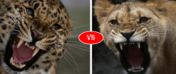 Leopard vs Lioness