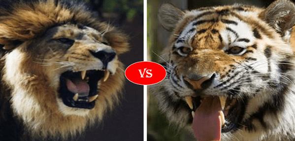 African lion vs siberian tiger