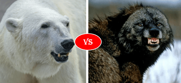 Polar bear vs wolverine