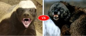 Wolverine vs Honey Badger