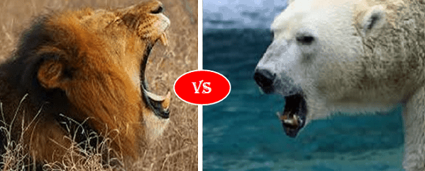 African lion vs Polar bear