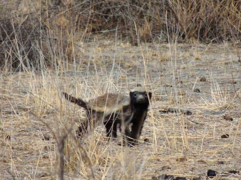 Are Honey Badgers fearless?
