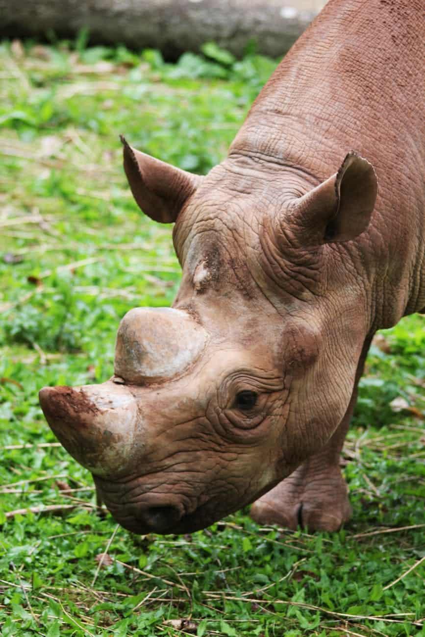 Are Rhinos Herbivores?