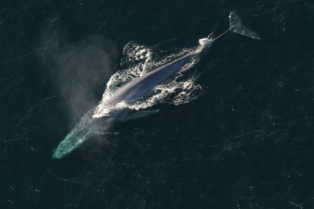What are some interesting facts about the Blue Whale?