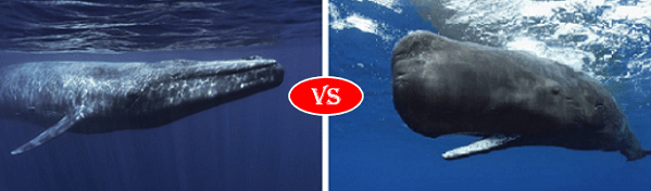 blue whale vs sperm whale