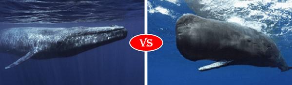 blue whale vs sperm whale